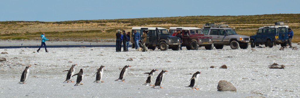 Landrovers, researchers and penguins on a Falklands beach, January 2015 (photo: Carlos Andrade Amaya)