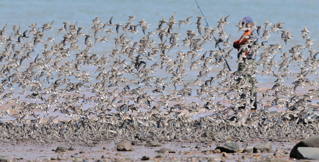 Fishermen and migratory birds compete for space along the Minas Basin (photo: Mark Elderkin)