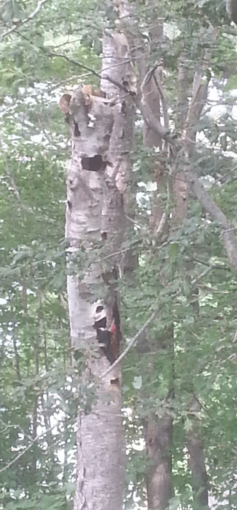 A female woodpecker at work on a dead backyard tree in Halifax, August 2016.