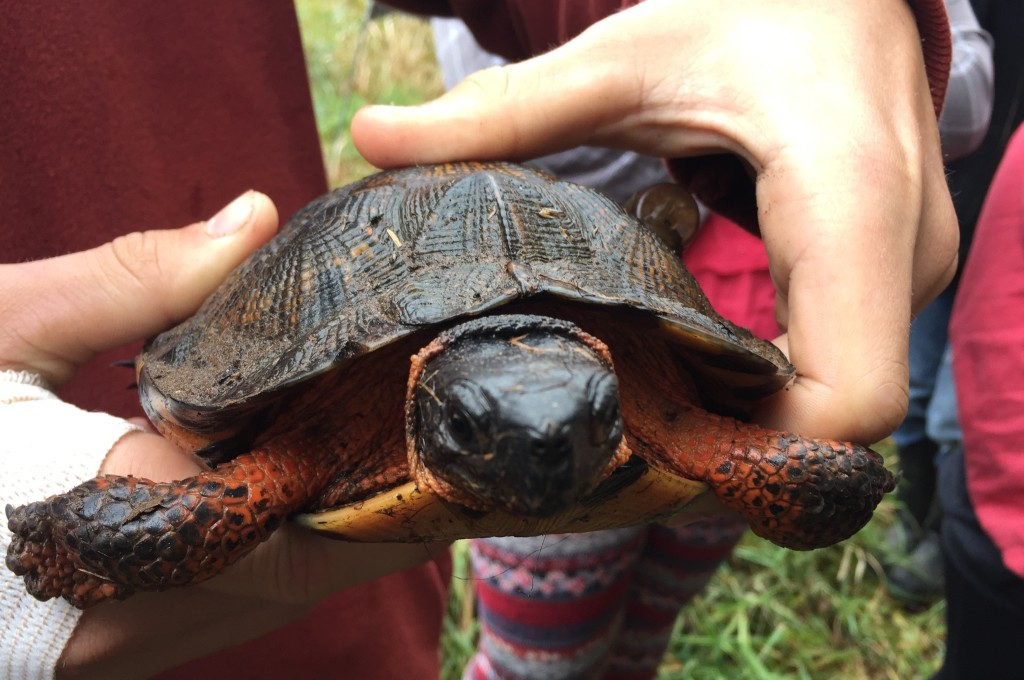A wood turtle found by Grade 9 students from Middleton, out with Katie McLean from CARP and Simon Greenland-Smith, in September 2016.