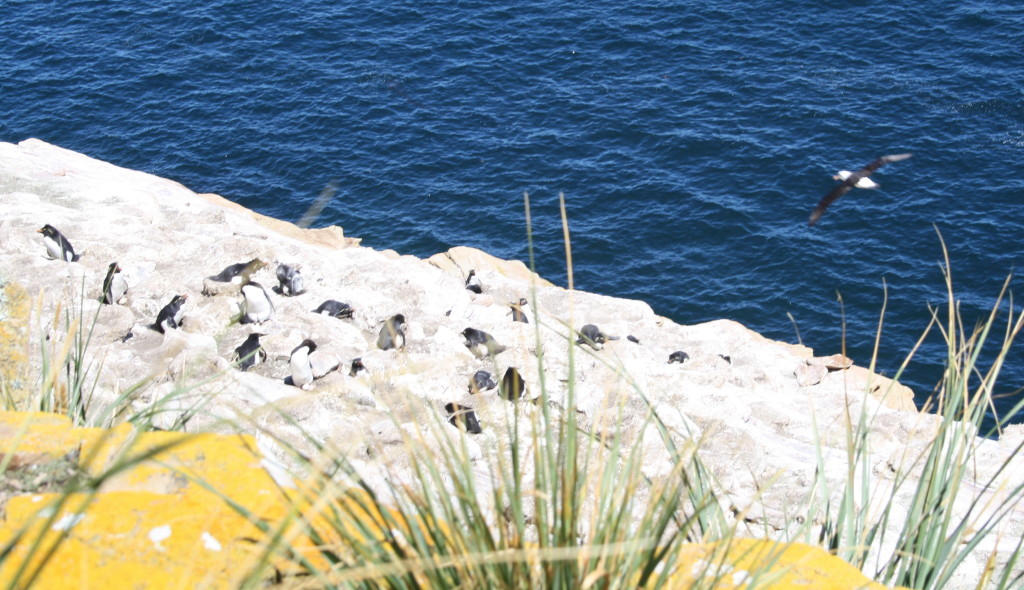 Black-browed albatrosses patrol the rockhopper penguins, guarding their eggs, on a cliff at Dunbar, West Falkland.
