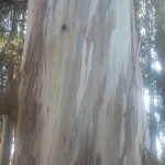 Closeup of bluegum bark in a grove at Berkeley