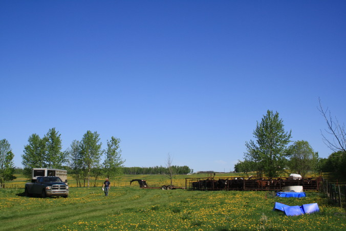 Steve Kenyon with a new delivery of cattle for custom grazing.
